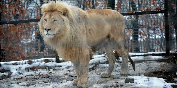 Beli lav Dule - zvezda Borskog zološkog vrta