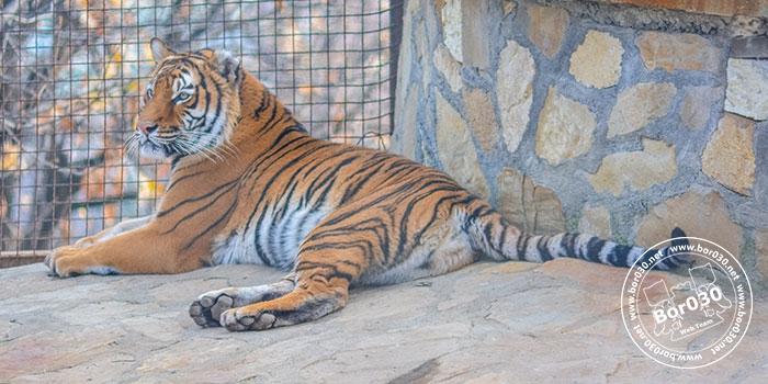 zoo-vrt-bor-tigar-700-01