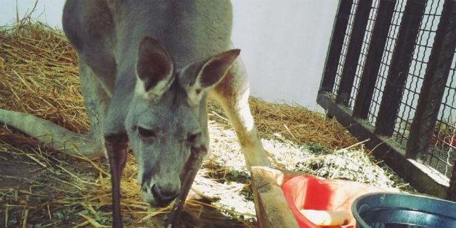 zoovrt-nove vrste-kengur